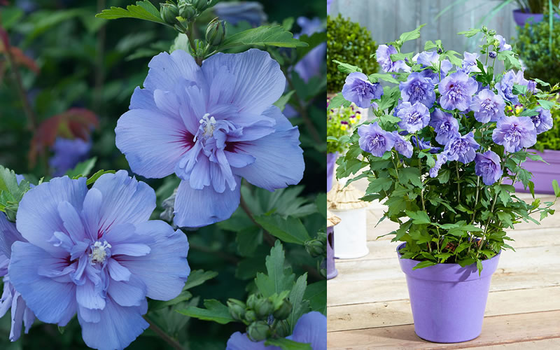 Buy Blue Chiffon Hibiscus Rose Of Sharon For Sale Online