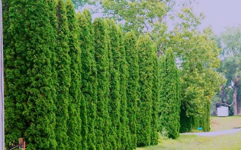 Degroot S Spire Arborvitae
