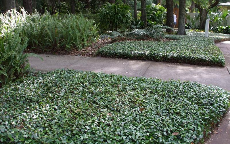 Buy Asian or Asiatic Jasmine Online From Wilson Bros Gardens