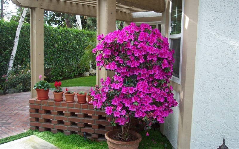 Buy Formosa Azalea For Sale Online From Wilson Bros Gardens