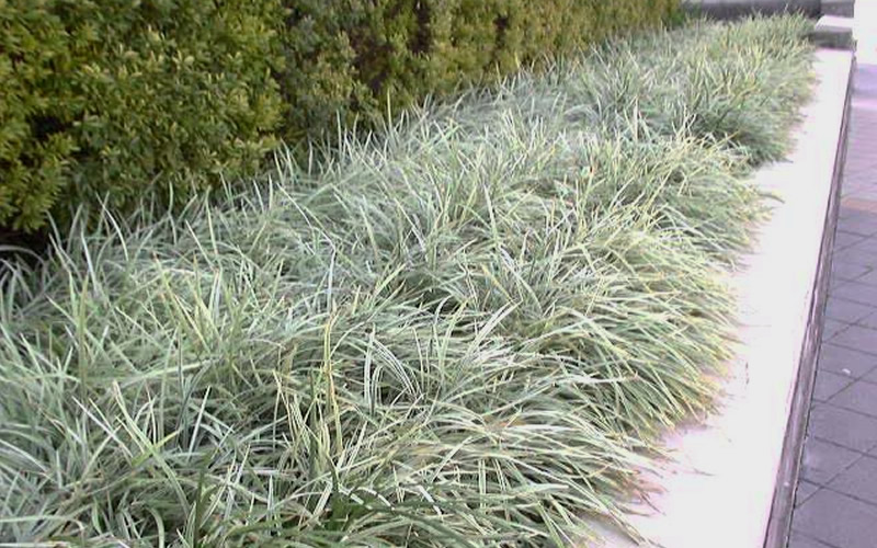 Buy aztec grass liriope for sale online from wilson bros for Ornamental grass border plants