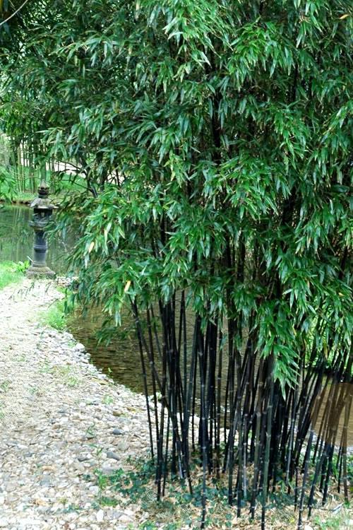 buy black bamboo phyllostachys nigra for sale online from wilson bros gardens