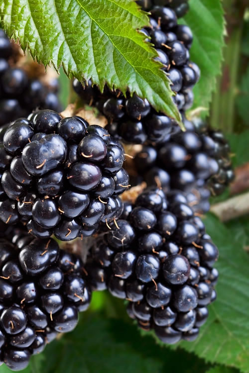 Buy Navaho Thornless Blackberry Plants For Sale Online