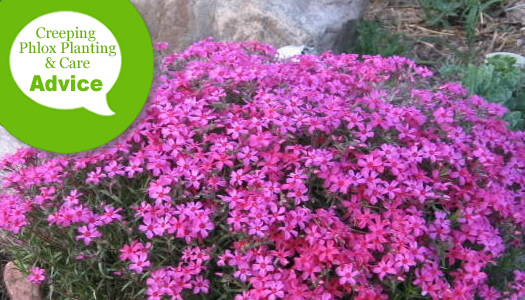 How To Plant & Care For Creeping Phlox Plants