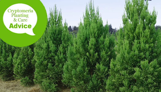 How To Plant And Care For Cryptomeria Japanese Cedar Trees