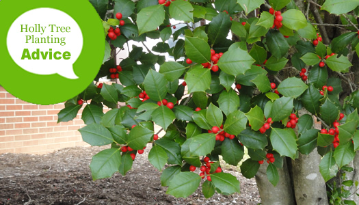 How To Plant A Holly Tree