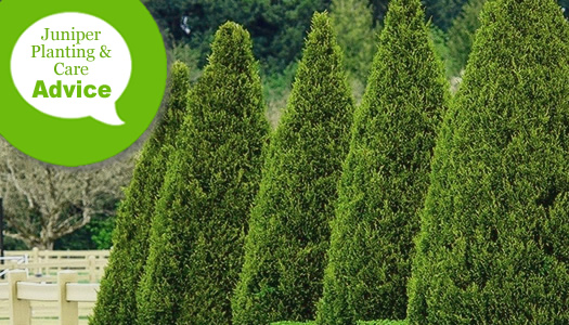 How To Plant Fertilize Water Prune Juniper Trees