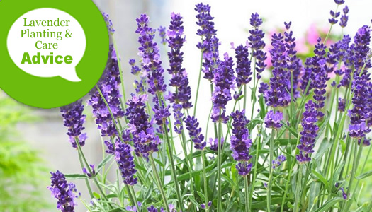 How To Plant, Care For, And Harvest Lavender Plants