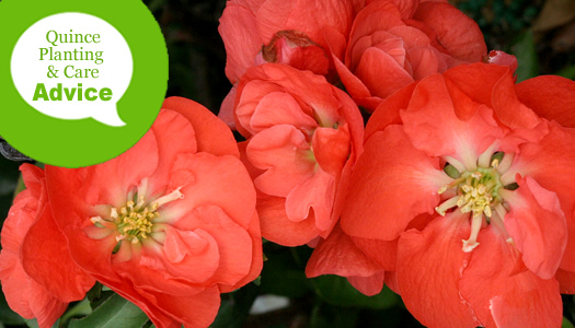 How To Plant And Care For Flowering Quince Shrubs