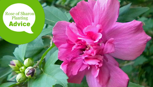 How To Plant And Care For Rose of Sharon Hibiscus