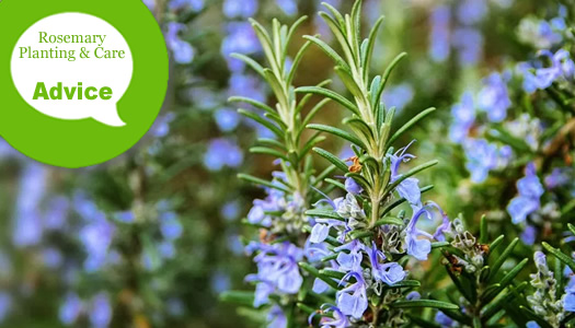 How To Plant & Care For Rosemary Plants