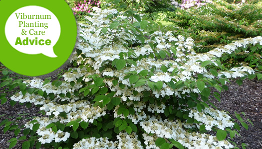 How To Plant And Care For Viburnum Plants