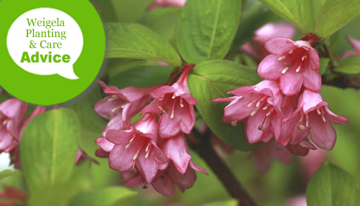 How To Plant And Care For Weigela Plants