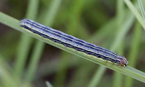 How To Kill Armyworms in the Lawn and Garden