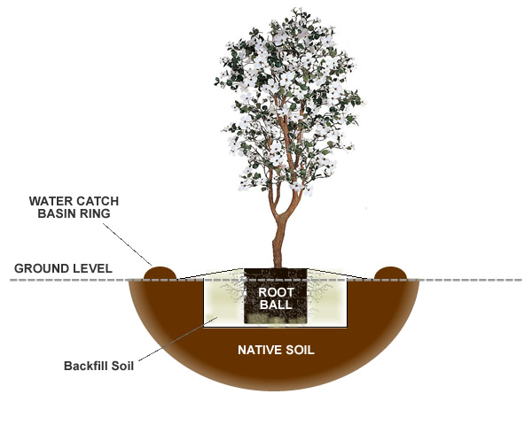 How to plant a dogwood tree from the experts at wilson