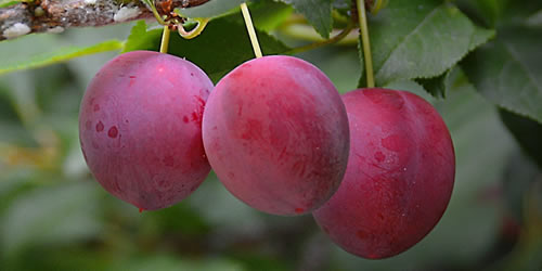 How To Prune a Plum Tree