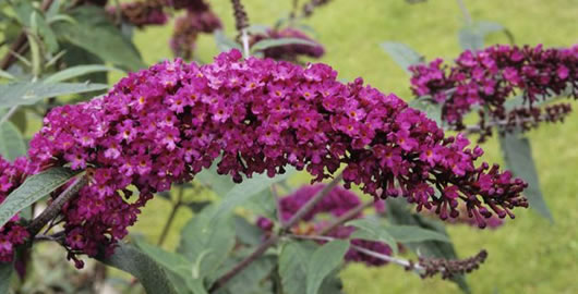 How To Prune A Butterfly Bush From The Experts At Wilson Bros Gardens