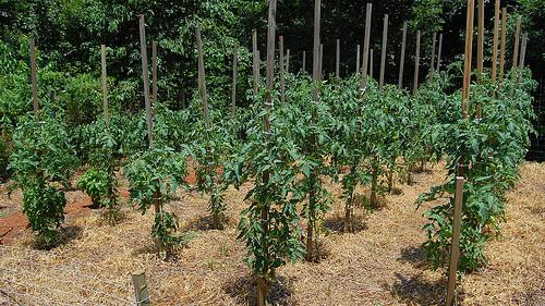 How To Plant Grow Tomato Plants In The Garden Wilson Bros Gardens