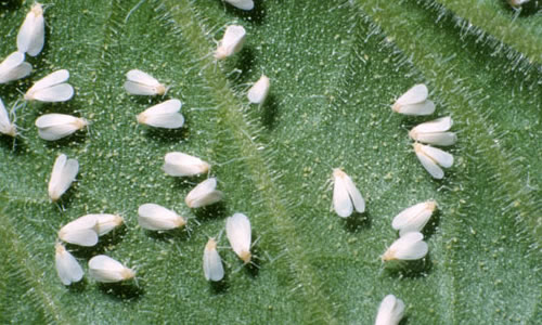 How to Prevent and Kill Whiteflies
