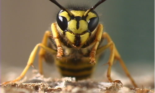 How To Kill Yellow Jacket Wasps and Destroy the Nest