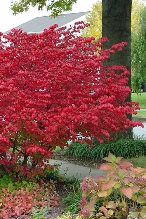 Buy Dwarf Burning Bush For Sale Online From Wilson Bros