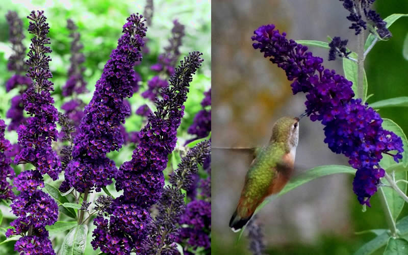 Buy Black Knight Butterfly Bush For Sale Online From