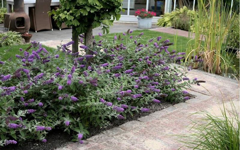 Buy Lo Amp Behold 174 Blue Chip Dwarf Butterfly Bush For Sale
