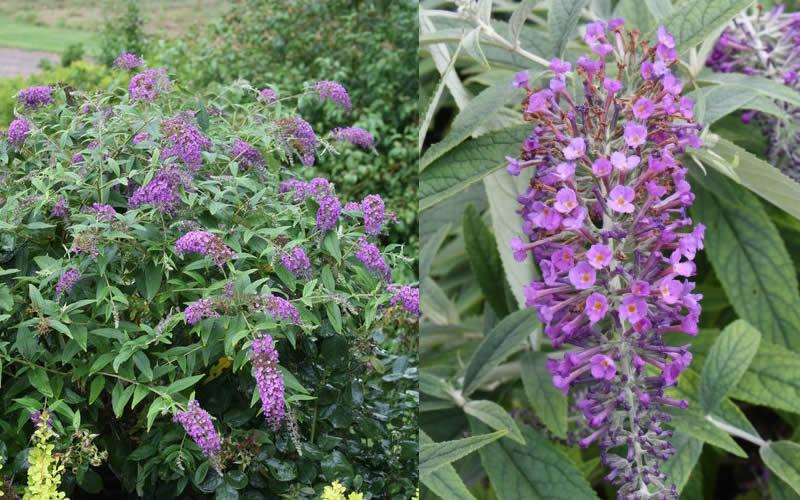 Buy Lo Amp Behold 174 Purple Haze Dwarf Butterfly Bush For Sale