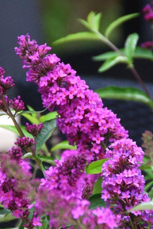 Buy Flutterby Petite 174 Tutti Fruitti Dwarf Butterfly Bush