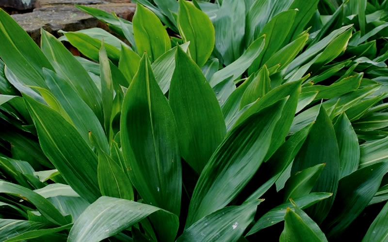 Cast Iron Plants : Buy cast iron plant aspidistra for sale online from wilson