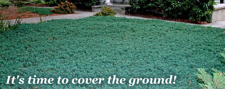 Buy Groundcover Plants Online From Wilson Bros Gardens