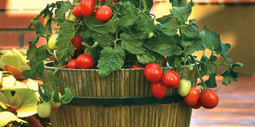 How To Grow Tomato Plants In Pots