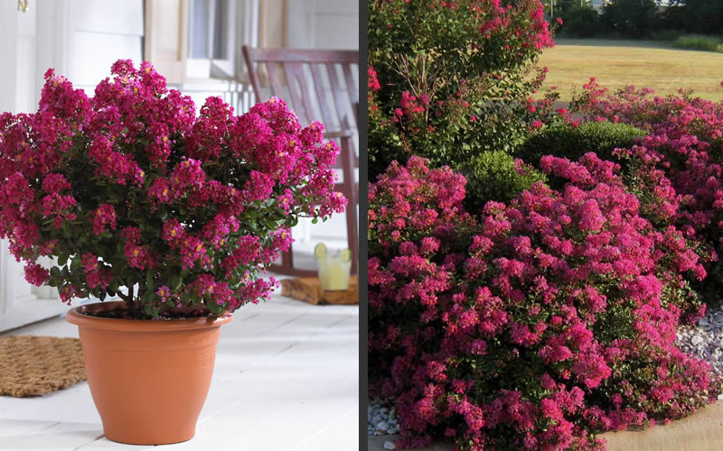 Pictures Of Crepe Myrtle Bushes