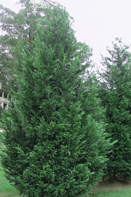 Buy Leyland Cypress Tree For Sale Online From Wilson Bros