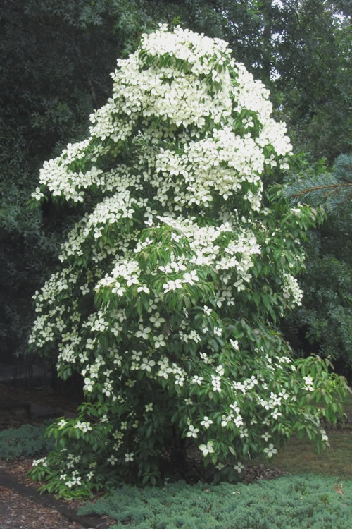 Buy Empress Of China Dogwood Tree Best Prices From