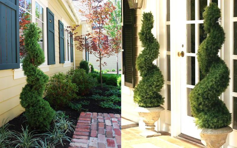 Live Topiary Part - 47: Spiral Dwarf Alberta Spruce - Topiary