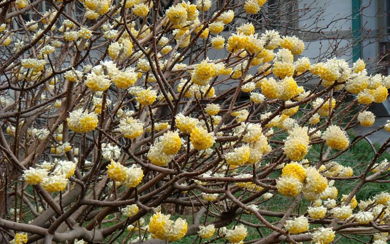 Edgeworthia chrysantha paper bush for Edgeworthia chrysantha