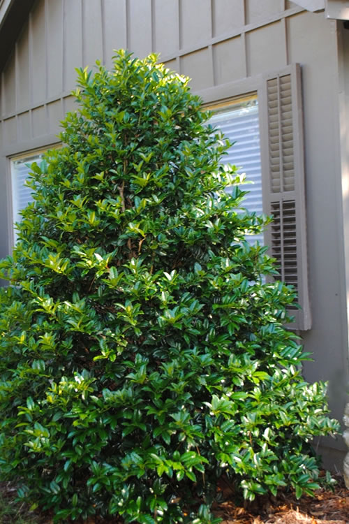 Buy Mary Nell Holly For Sale Online From Wilson Bros Gardens