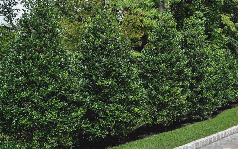 Home gt shrubs gt fall color shrubs gt nellie r stevens holly