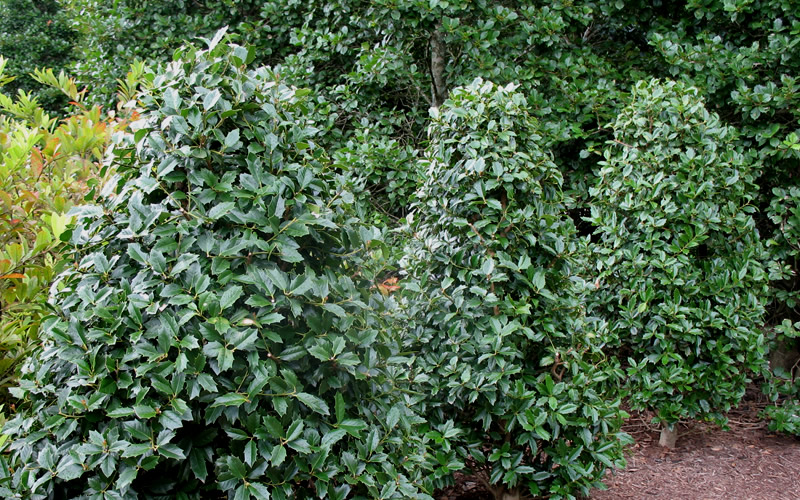 Sunshine Ligustrum Moreover Gardenias On Southern Living At Home Tree