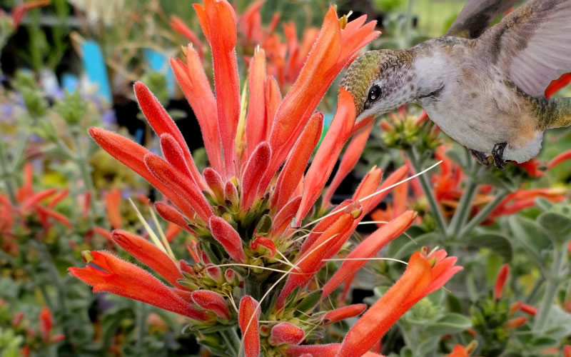 buy hummingbird plant dicliptera suberecta for sale online