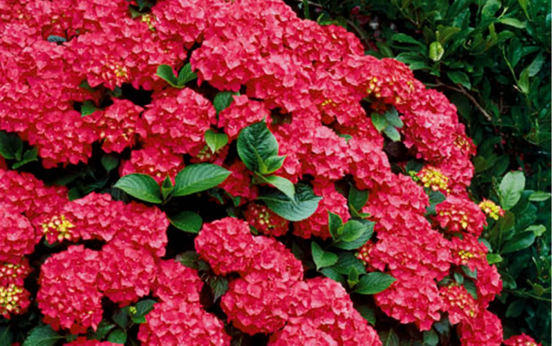 buy cardinal red hydrangea for sale online from wilson