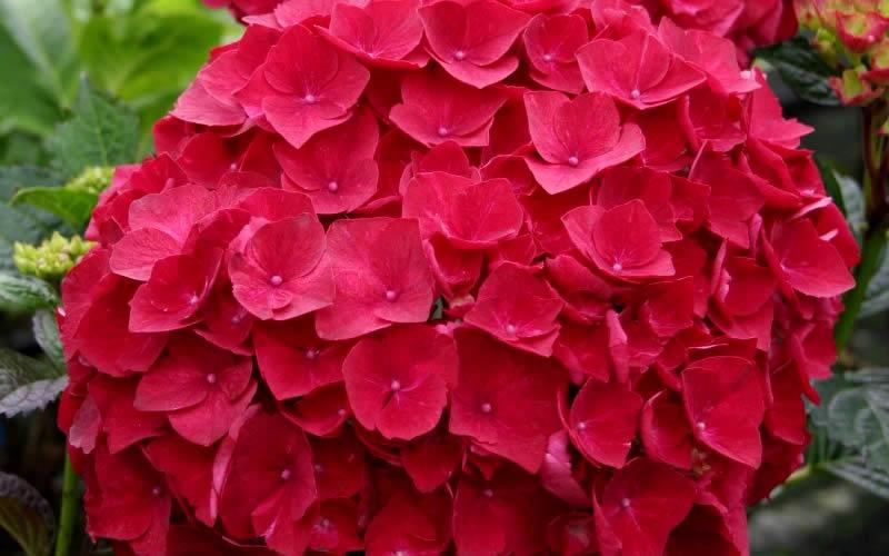 Image Gallery hydrangea cardinal red