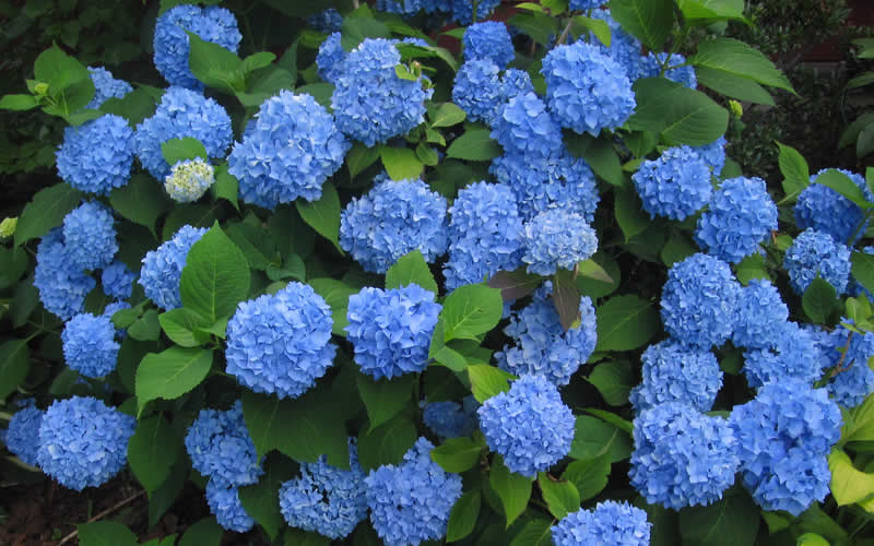 buy endless summer hydrangea for sale online from wilson. Black Bedroom Furniture Sets. Home Design Ideas