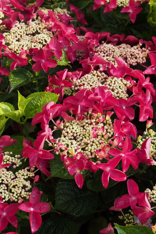 Buy Lady In Red Hydrangea For Sale Online From Wilson Bros