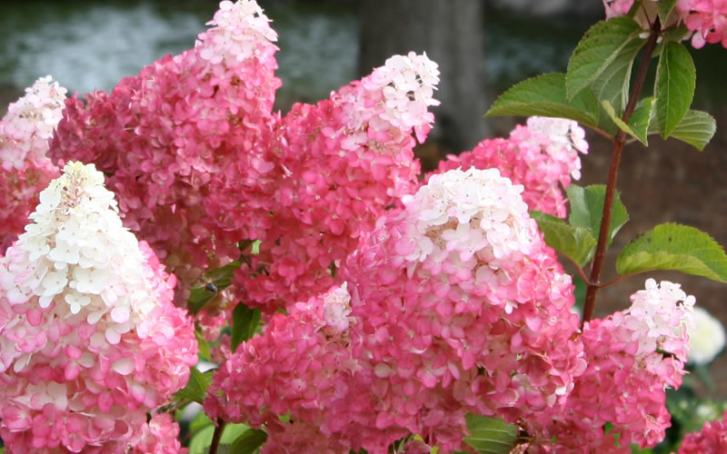 Buy Vanilla Strawberry Hydrangea For Sale Online From Wilson Bros ...