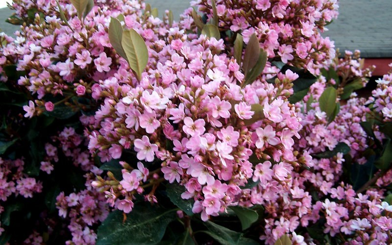 Buy Rosalinda Indian Hawthorne Tree For Sale Online From