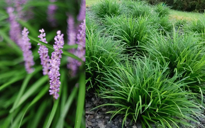 Buy Evergreen Giant Liriope Lily Turf For Sale Online From ...
