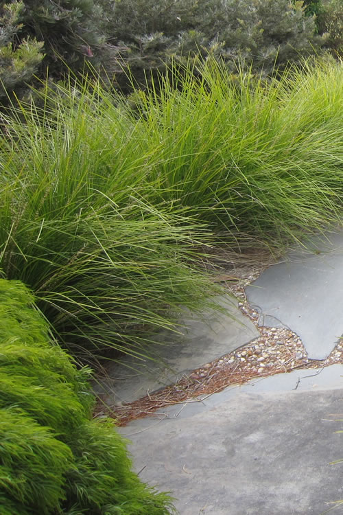 Buy Breeze Lomandra For Sale Online From Wilson Bros Gardens
