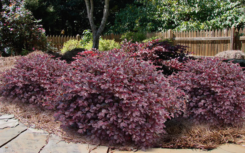 Pictures Of Shrubs And Bushes